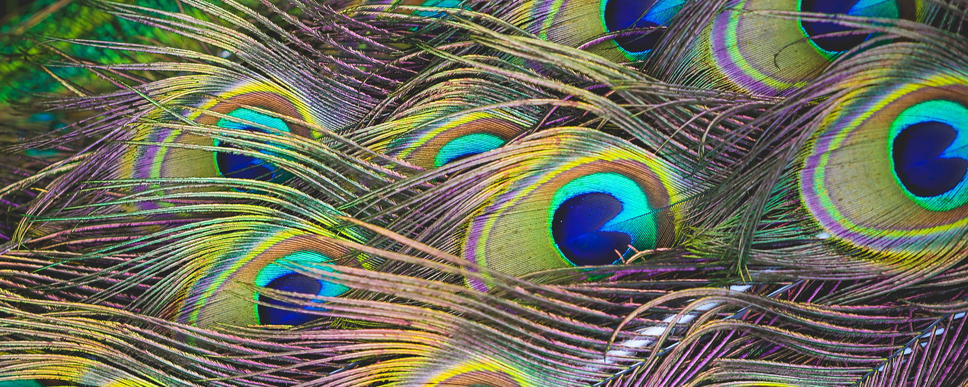 colorful-peacock-feathers-PJ-HNCK6973-dc.org-1920x768