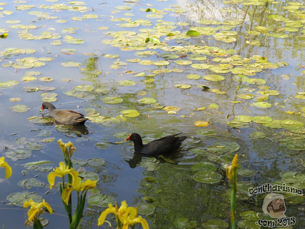 DonCharisma.com, Don Charisma, Duck Pond, Canberra Floriade 2013