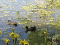 DonCharisma.com Duck Pond, Canberra Floriade 2013
