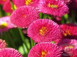DonCharisma.com,Flowers Canberra Floriade 2013