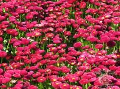 DonCharisma.com,Flowers 2 Canberra Floriade 2013