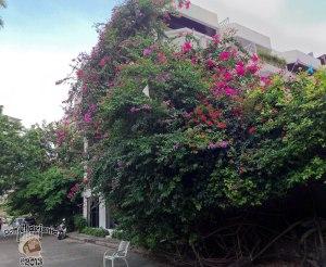 DonCharisma.org Beautiful Flowering Creeper Bush