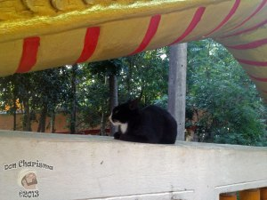 DonCharisma.org Black Pussy Cat Under Dragon - Big Buddha Hill