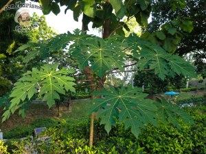 DonCharisma.org Cool Green Plant - Big Buddha Hill