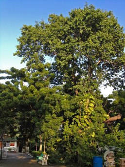 DonCharisma.org Cool Tree - Big Buddha Hill