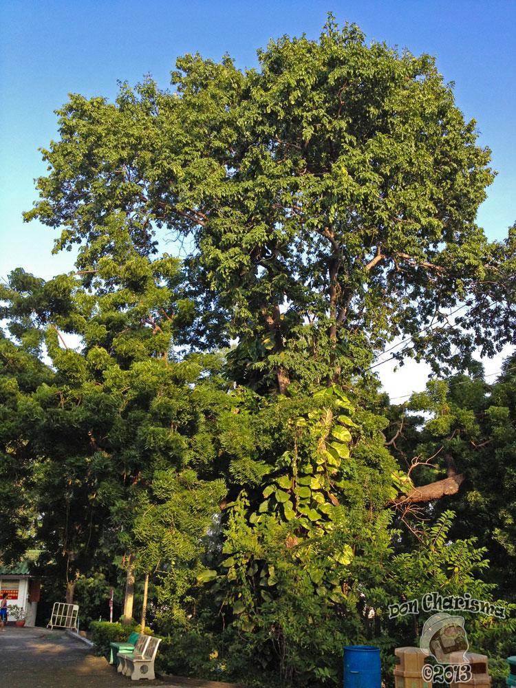 DonCharisma.org Cool Tree 2 - Big Buddha Hill