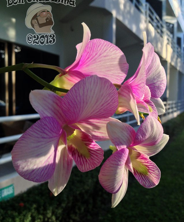 DonCharisma.org Morning Orchids