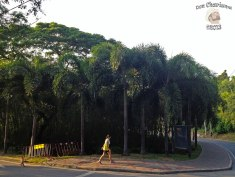 DonCharisma.org Road Palm Trees - Big Buddha Hill