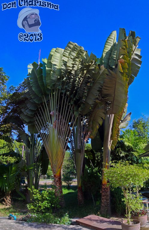 DonCharisma.org Fan Palm PTGui-1w-x-3h-L