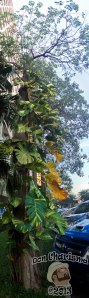 DonCharisma.org Tree Variegated Vine Towerama PTGui-1w-x-5h-P