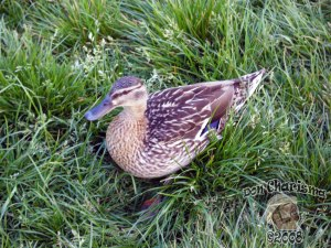 DonCharisma.org-Mallard-Female-Hampstead-Heath-1L
