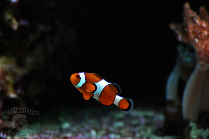 DonCharisma.org-Nemo-Fish-2