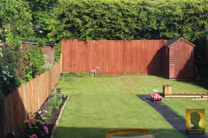 dannyboybroderick-fox-in-garden1