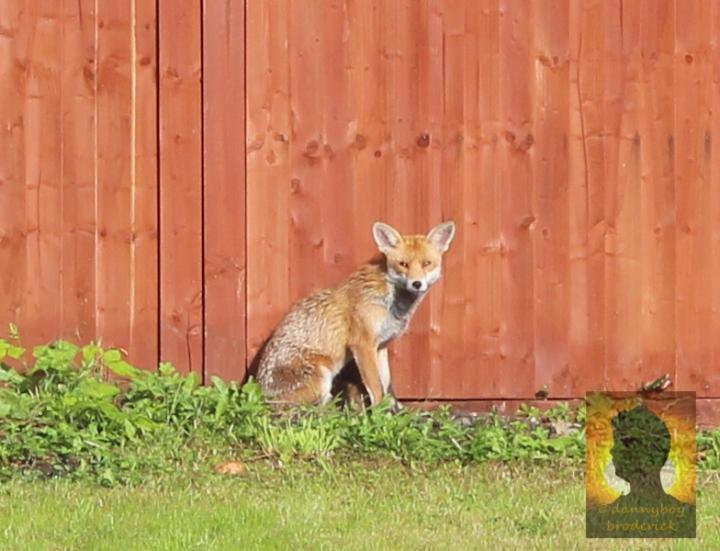 dannyboybroderick-fox-in-garden2