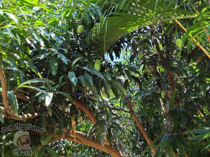 DonCharisma.org-Cambodia-Mango-Tree-1L