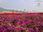 DonCharisma.org-Field-Of-Flowers