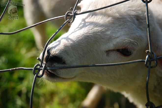 DonCharisma.org-Lamb-1L