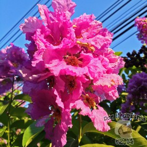 DonCharisma.org-Tree-Flowers-1P_FI