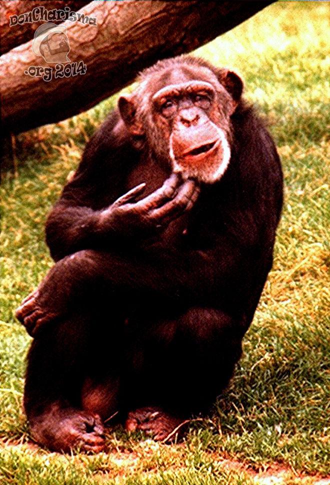 DonCharisma,org-Confused-Chimp