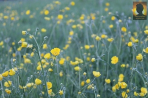 dannyboybroderick-buttercup-field