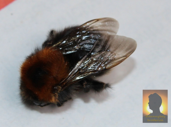dannyboybroderick-death-of-a-bee-1