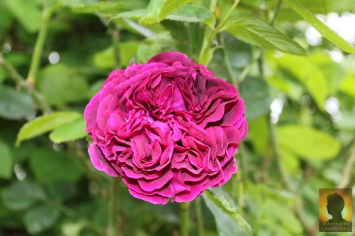 dannyboybroderick-english-rose