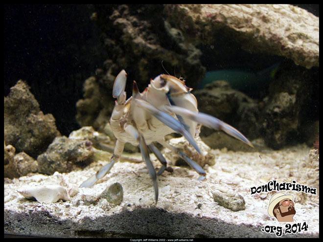 DonCharisma.org-Crab-In-Aquarium