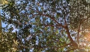 DonCharisma.org-Evening-Tree-Canopy-2