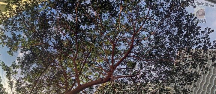 DonCharisma.org-Evening-Tree-Canopy