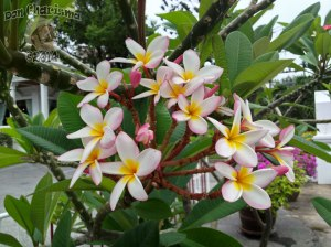 DonCharisma.org-Frangipani-Plumeria-Flowers