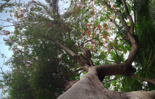 DonCharisma.org-Tree-Canopy-Panorama