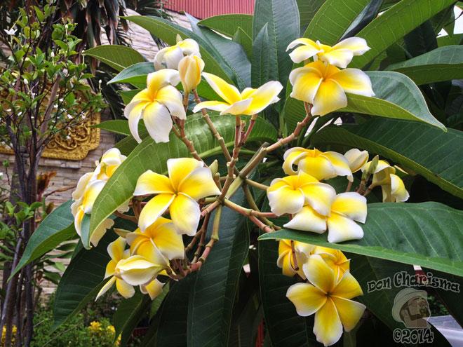 DonCharisma.org-Yellow-Frangipani-Plumeria-Flowers