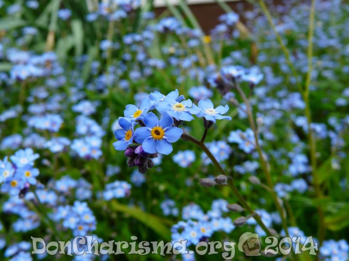 forget-me-not-flower-pb-3965-DonCharisma.org-1024LE