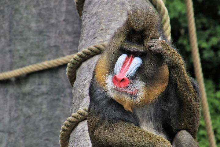 doncharisma, don charisma, baboon,monkey,think positive,animals,sit,red nose,figure,portrait,vigilance,face,zoo,nature,hairy,feb,wild,fur,string,wooden,predator,furry,mammal,threat,war paint