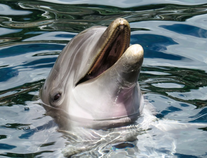 dolphin,sea,marine mammals,wise,intelligent,free,curious,show,meeresbewohner,pinball,water,eye,tooth,hello,DON CHARISMA