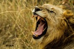 lion,roar,wildlife,africa,danger,fang,hunter,male,king,mane,power,strength,mouth,wild,animal,dangerous,teeth, DON CHARISMA