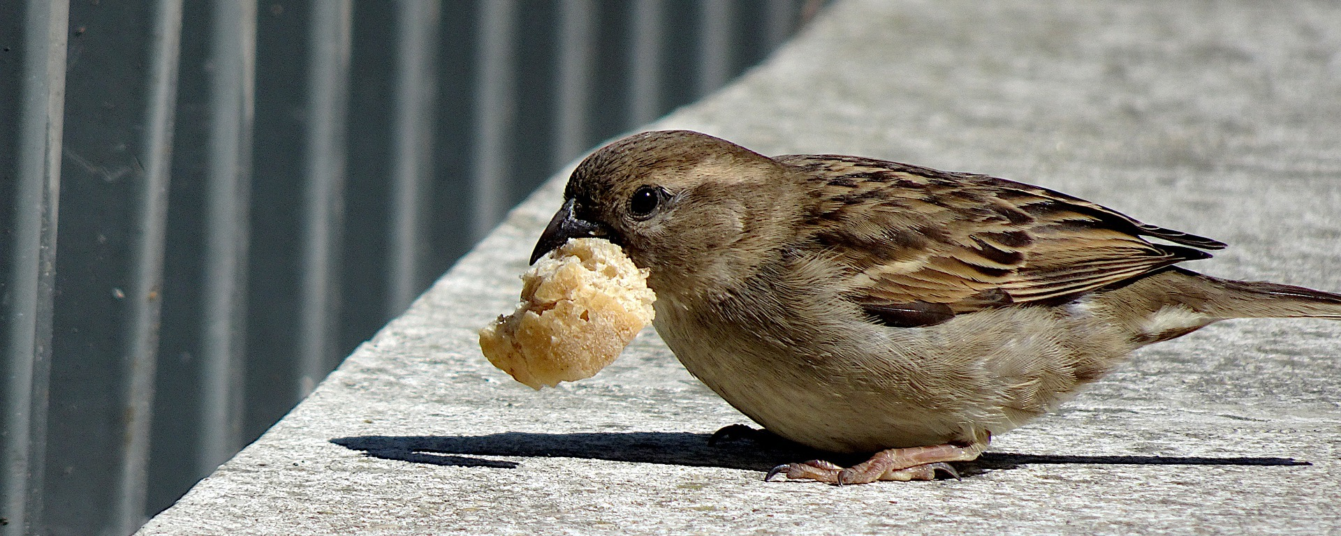 sparrow,birds,animals,plumage,beak,cute,eat,catch,bread, DONCHARISMA