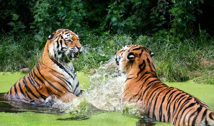 tiger,big cat,zoo,portrait,predator,animal world,tiergarten,animals,cat,schönbrunn,water,fight,, DON CHARISMA